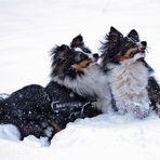 Sheltie's im Schnee