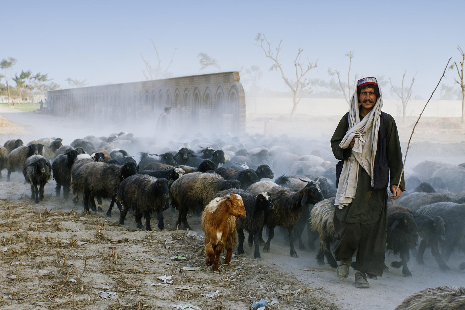 Shepherd with Goats on Rural Roads of Layyah,Pakistan