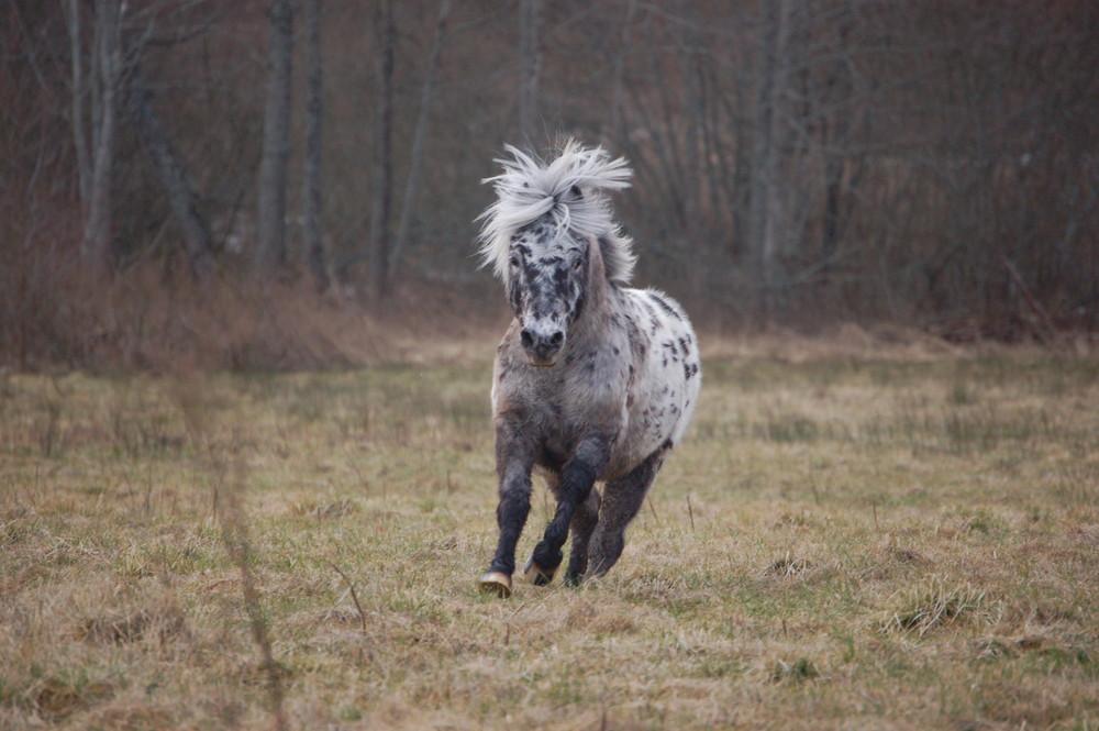 Shetland Pony in gallopp