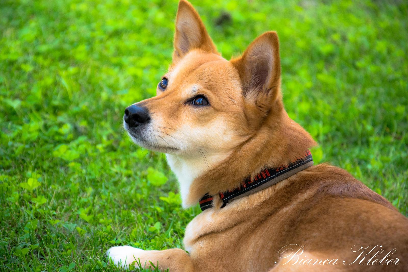 shiba inu foto bild hunde hund natur bilder auf fotocommunity. Black Bedroom Furniture Sets. Home Design Ideas
