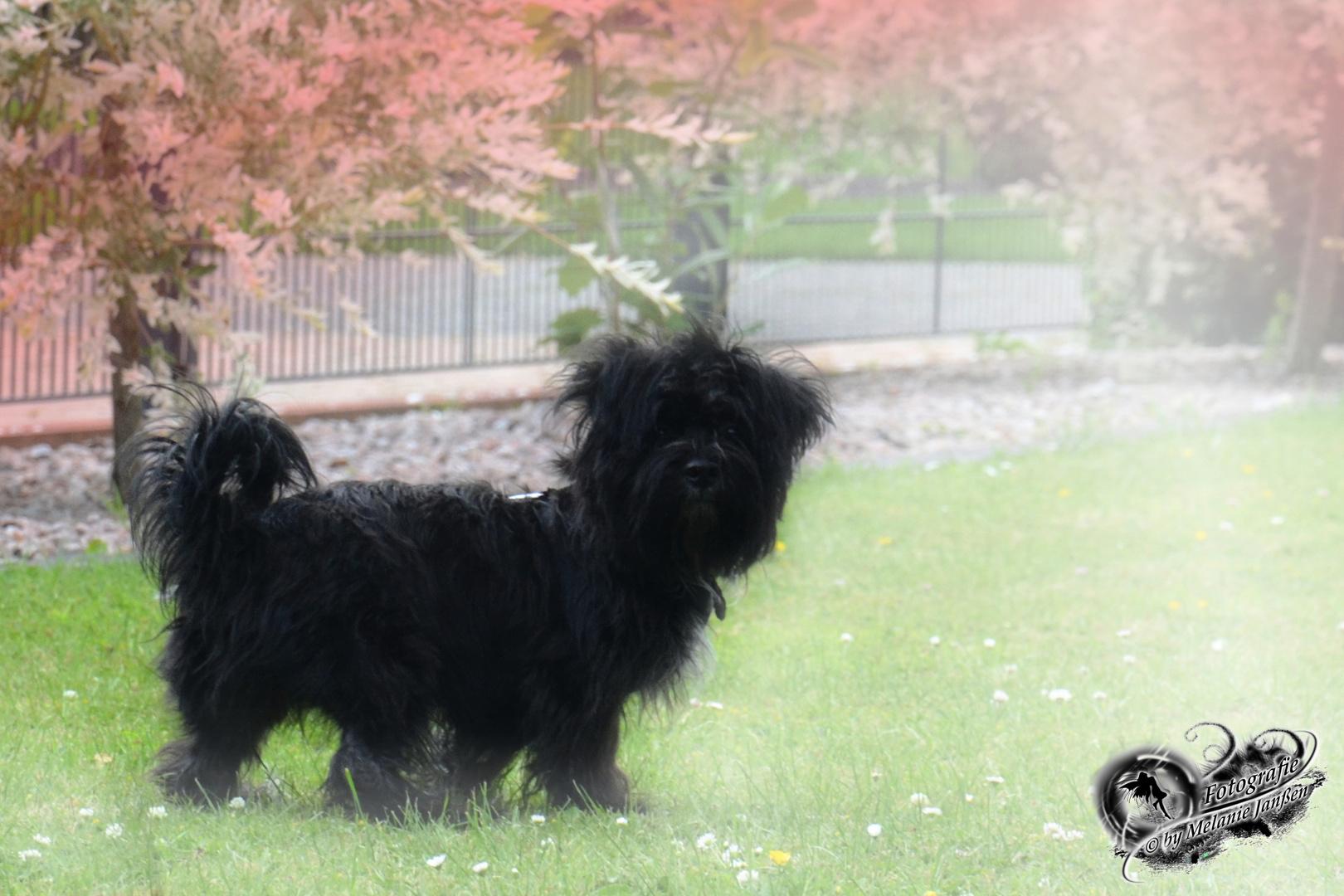 Shih York Jack Shih Tzu Terrier Mix Foto Bild Tiere Haustiere