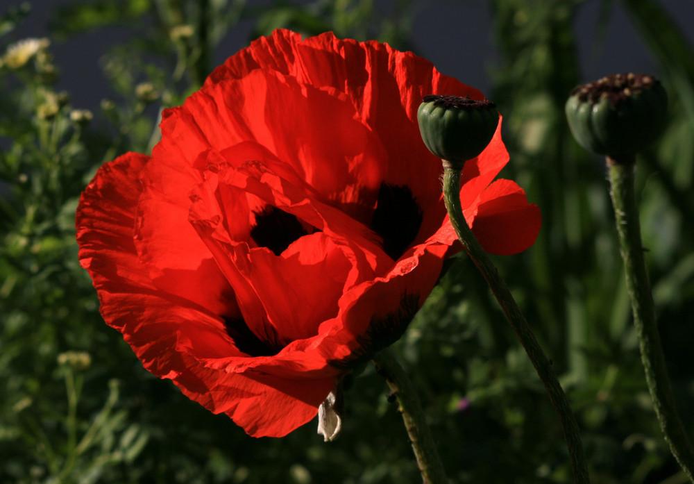shining poppy