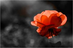Shining rose - Colorkey