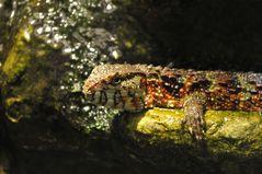 Shinisaurus crocodilurus - Chinesische Krokodilechse