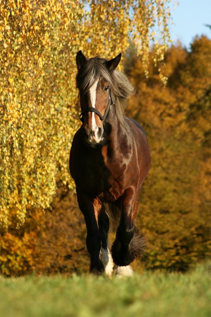 Shire Horse Mathilda