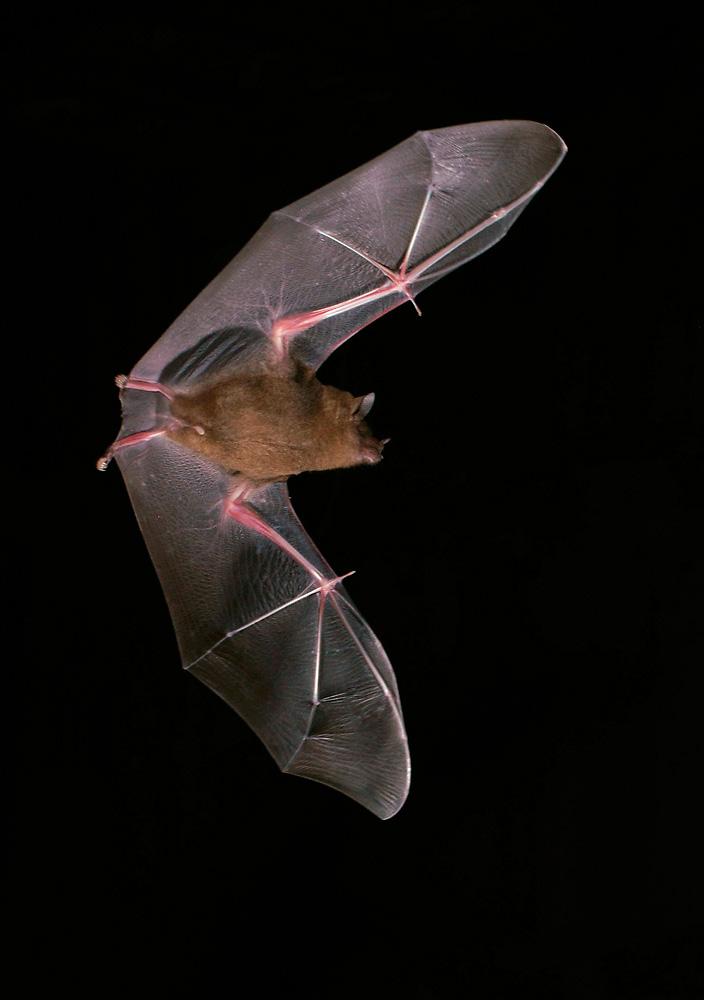 Short-tailed Fruit Bat ( Carollia perspicillata ) Brillenblattnase