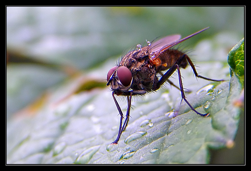 Showery Fly
