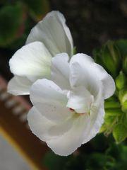 Shy Carnation in White / Geranio timido in bianco