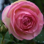 Si j'étais une rose