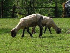 siamesisches Schaf