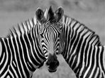 Siamesisches Zebra