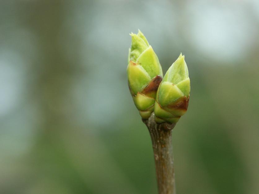 Siamois extraterrestres attendant le printemps