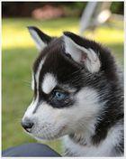 =Siberian Husky=