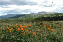 Siberian Orange