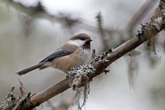 Siberian tit (Lapplandmeise)