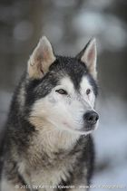 Sibirian Husky ....
