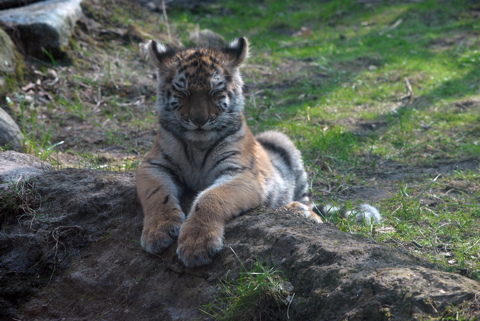 Sibiricher Tiger