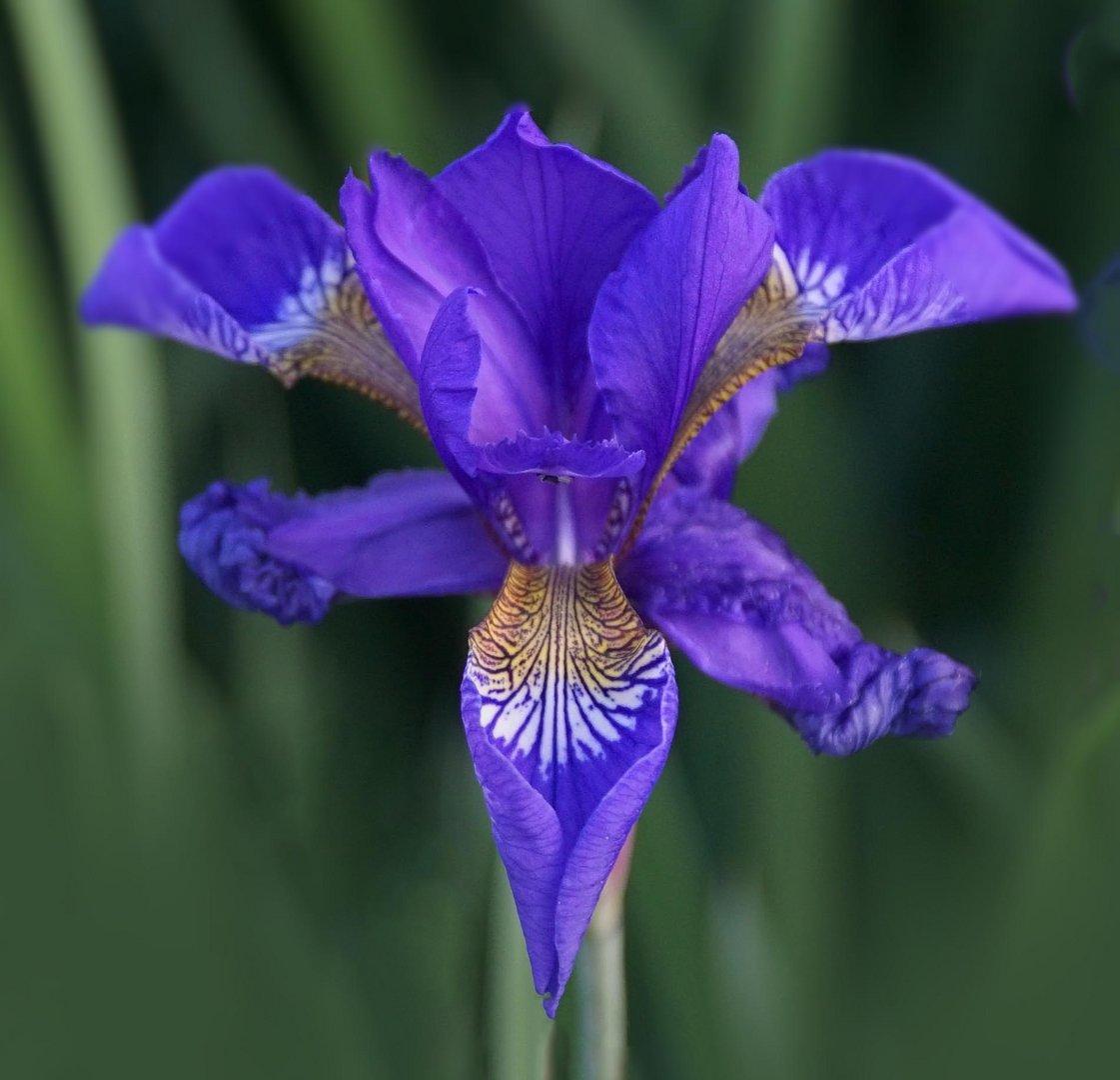 Sibirische Schwertlilie