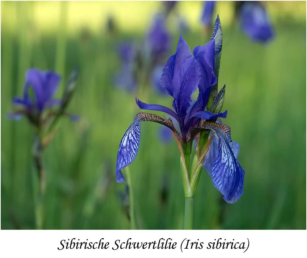 Sibirische Schwertlilie (Iris sibirica), NSG Erlebachswiese