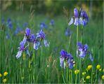 Sibirische Schwertlilien auf der feuchten Erlebachswiese