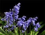 Sibirischer Blaustern (Scilla siberica)...