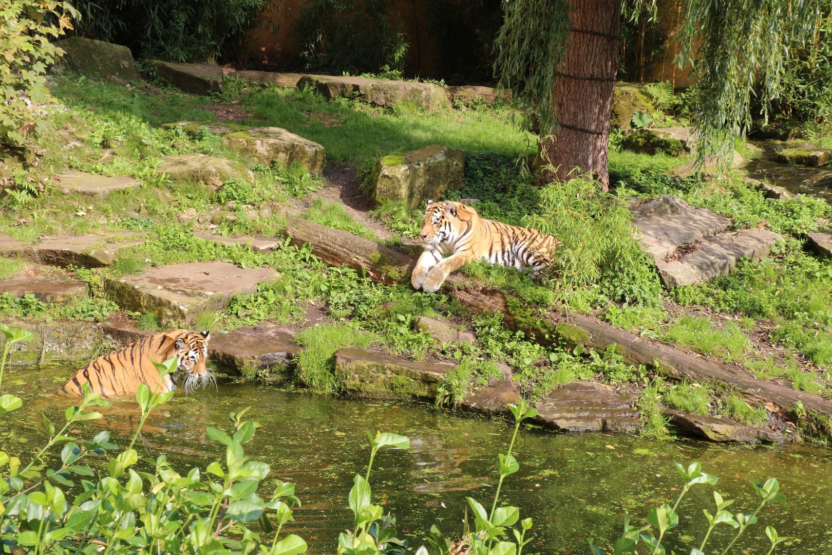 Sibirischer Tieger, auch Amurtiger, gelangweilt im Zoo Münster