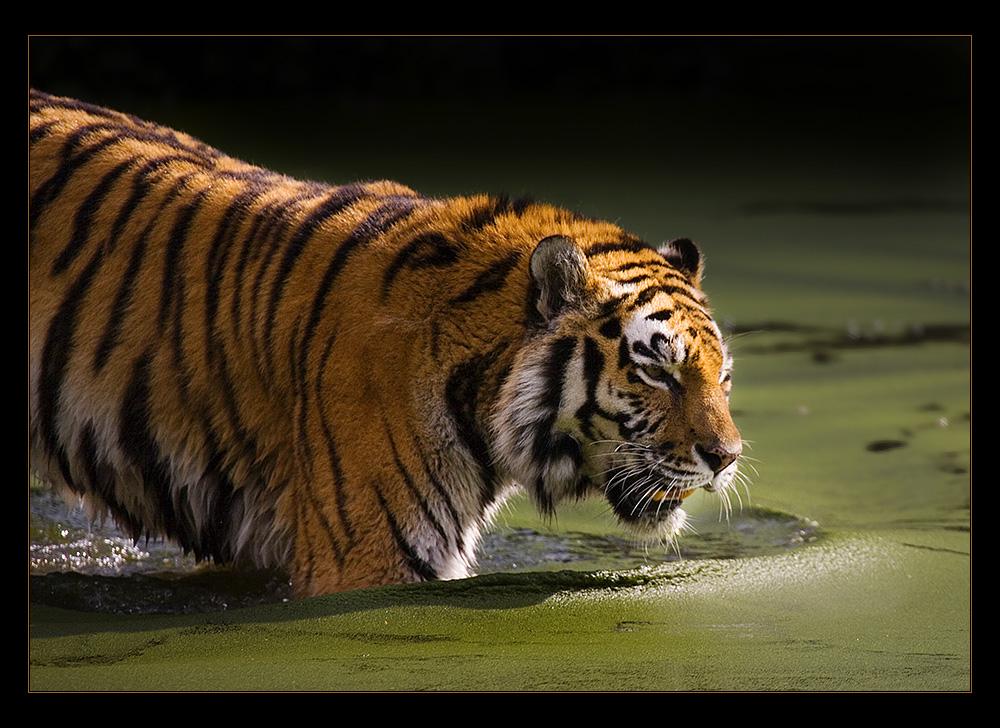 Sibirischer Tiger 2