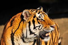 Sibirischer Tiger (2)