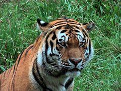 Sibirischer Tiger (2) -Neuwieder Zoo-