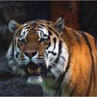 Sibirischer Tiger (2) -ZOO NEUWIED-