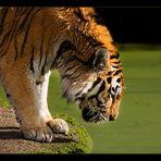 Sibirischer Tiger 3