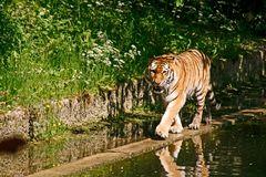 Sibirischer Tiger im Zoo von München