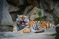 sibirischer Tiger in Berlin