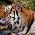 Sibirischer Tiger mault vor sich hin.