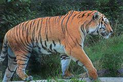Sibirischer Tiger (Neuwieder Zoo)