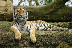 Sibirischer Tiger - Panthera tigris altaica