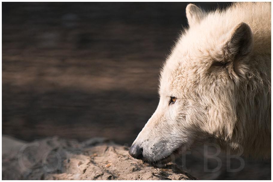 Sibirischer Wolf auf der Lauer