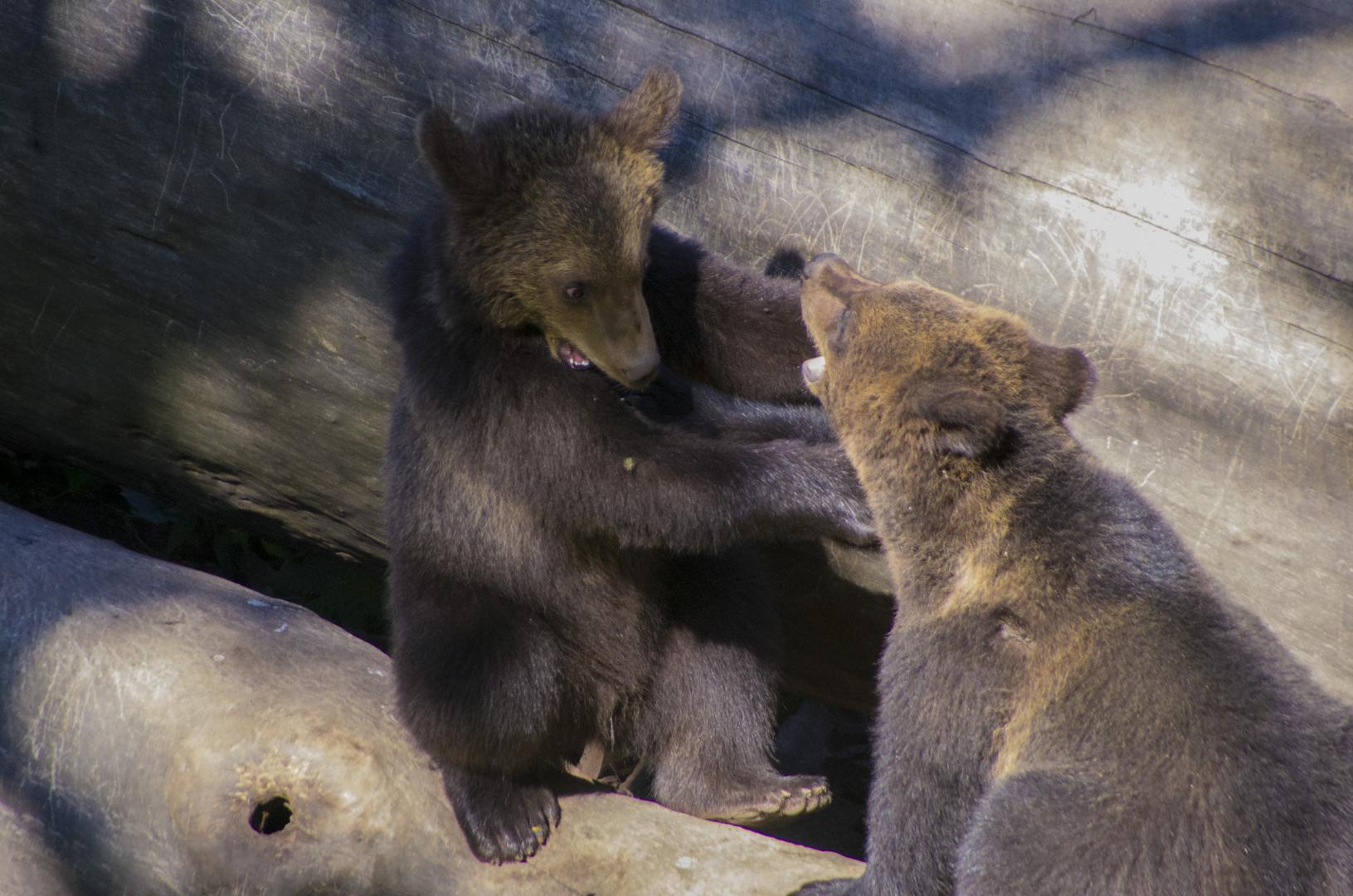 Sich balgende junge Bären