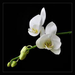 sich entfaltende Blüte