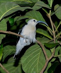 Sickle-billed Vanga