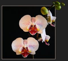 """Sie blüht wieder """"Phalaenopsis-Hybride"""""""