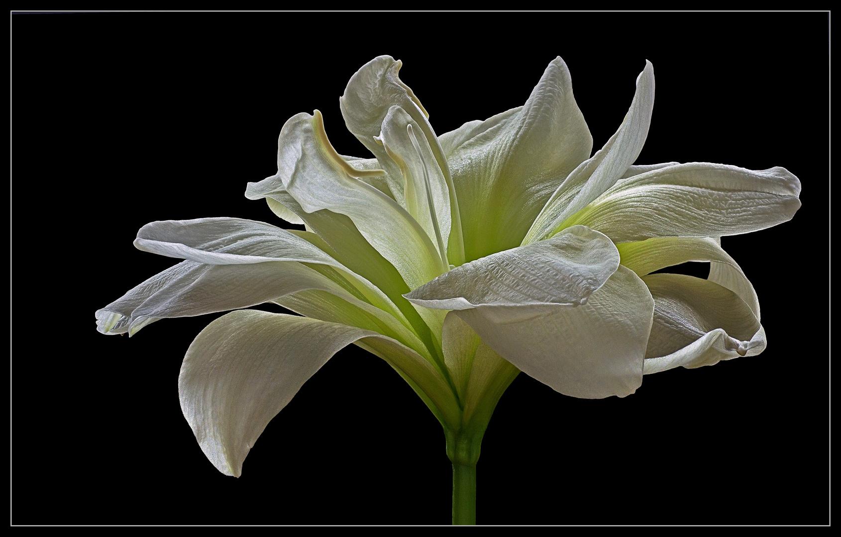 Sie gehören zu den schönsten Blumen der Adventszeit