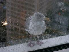 ...sie klopfte jeden Morgen an mein Fenster in Vancouver