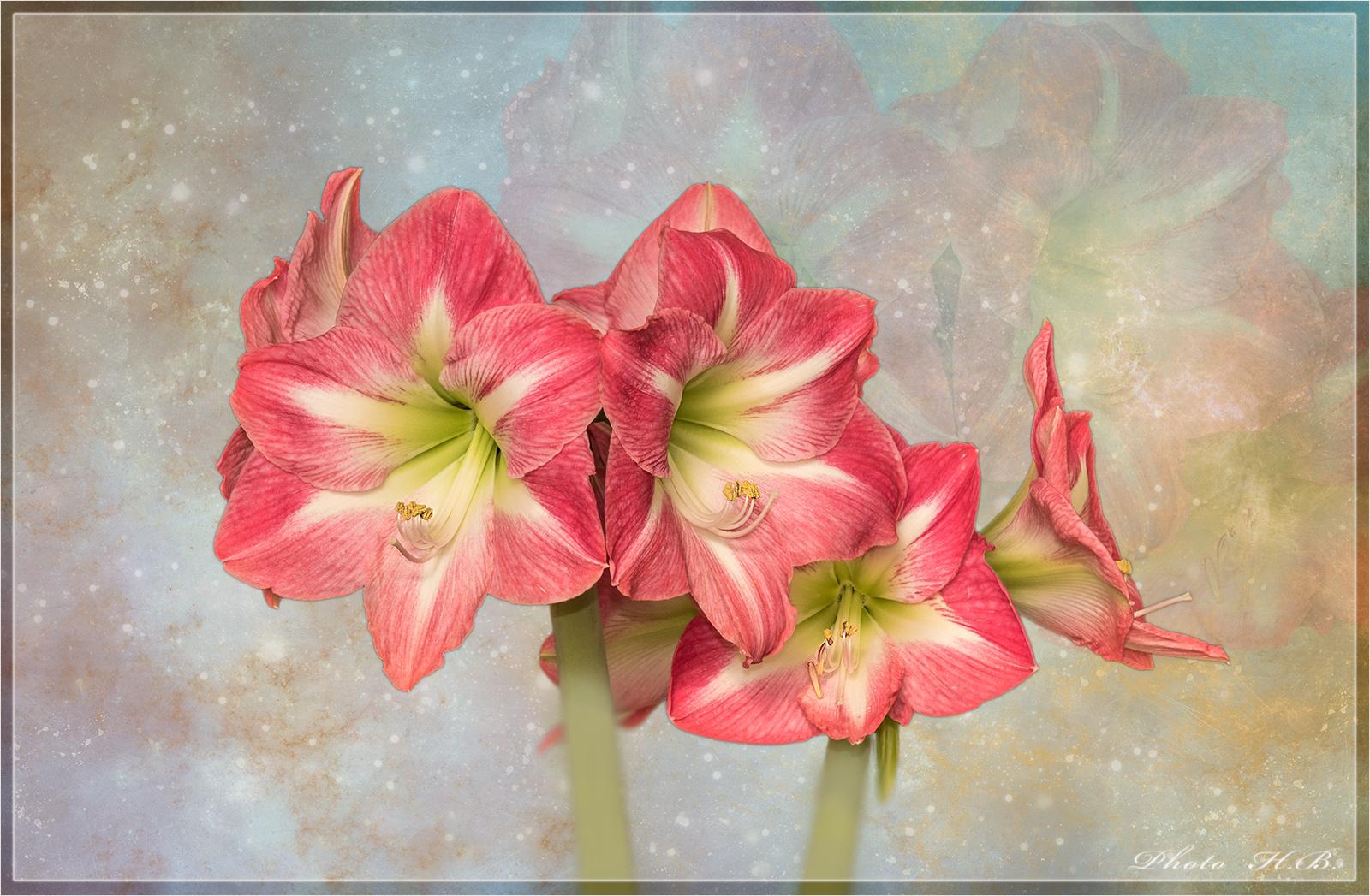 Sie leuchten in der Vorweihnachtszeit -  die Ritterspornblüten