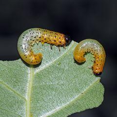 Sie sehen ähnlich aus wie die Larven der Weidenblattwespe (Pteronus salicis)...