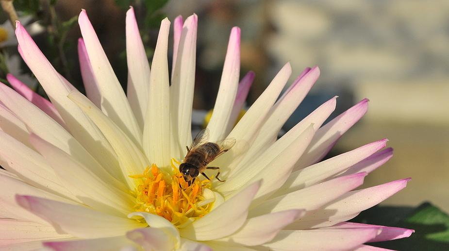 ....sie werden von vielen Insekten besucht....