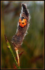 Siebenpunkt-Marienkäfer (coccinella Septempunctata) im Morgentau