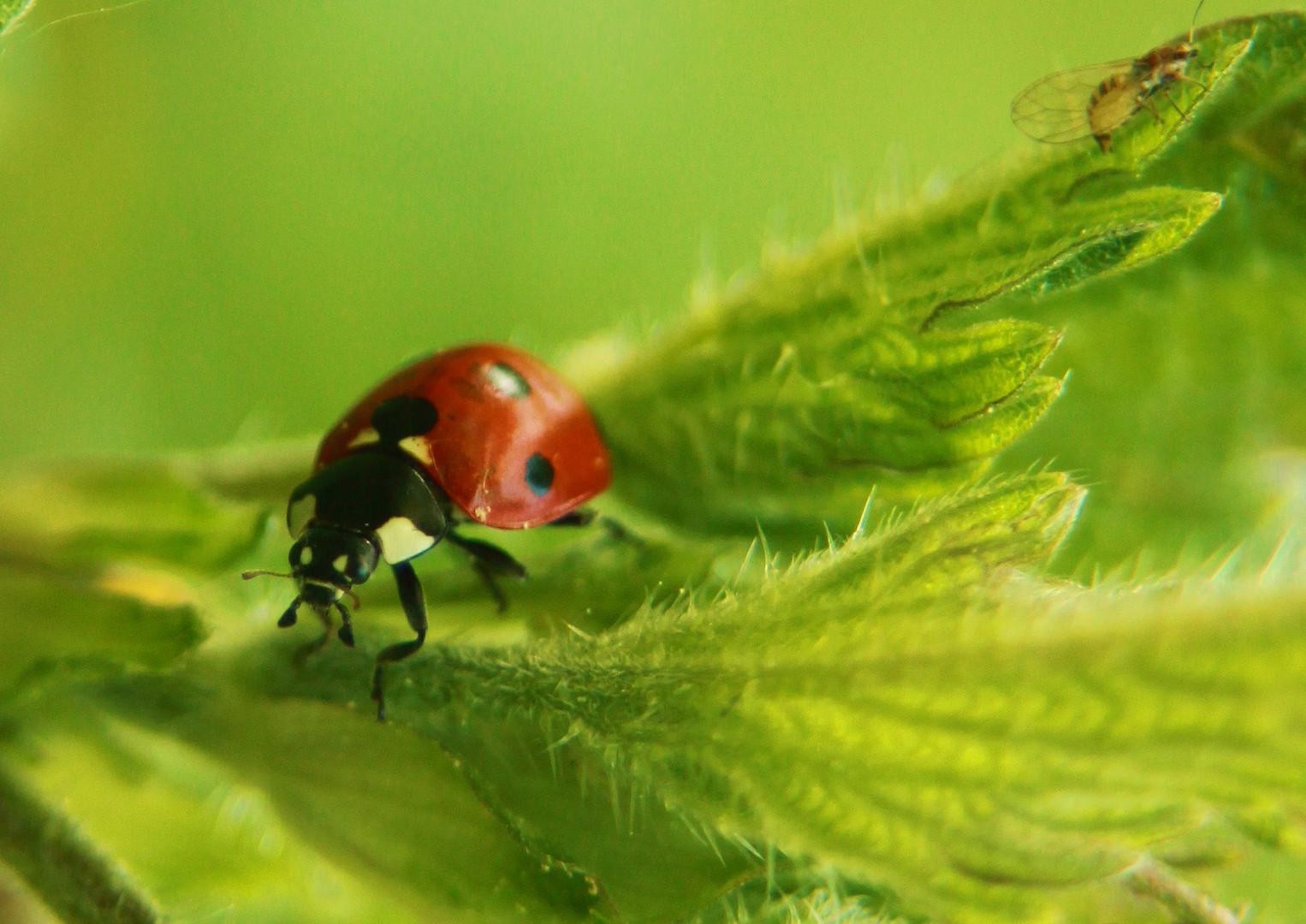 Siebenpunktmarienkäfer , Coccinella septempunctata