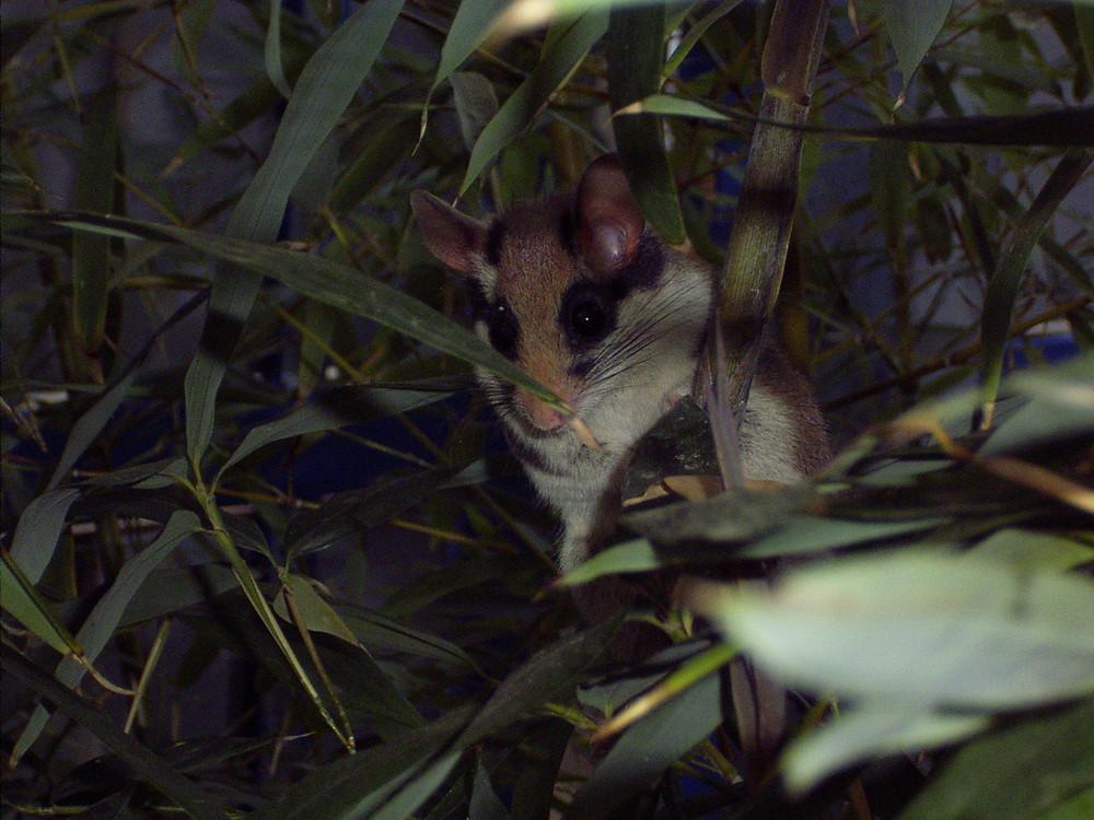 Siebenschläfer im Bambus