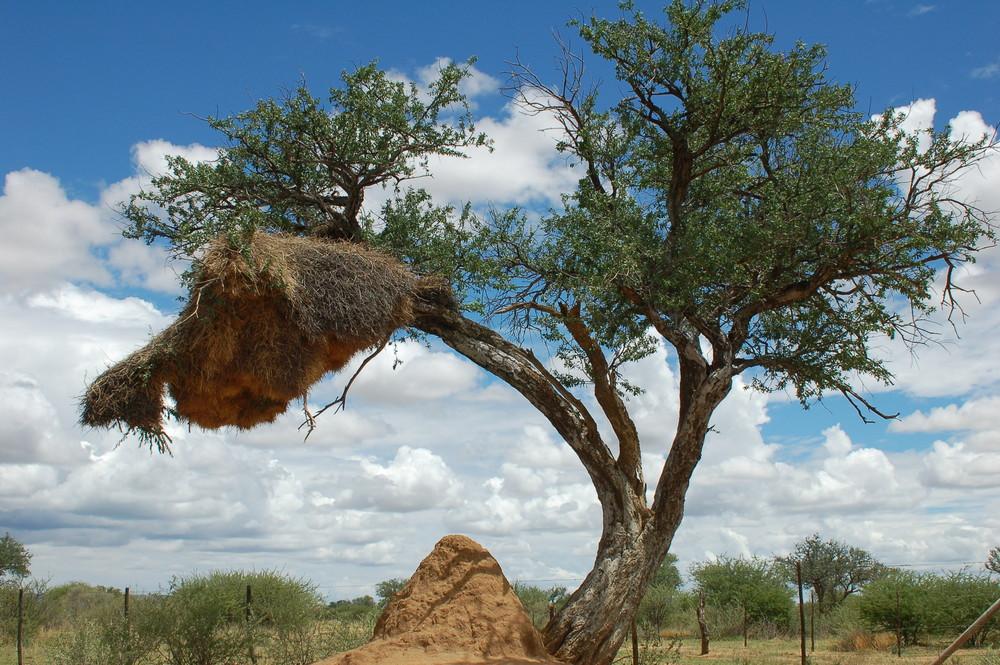 """""""Siedelweber"""" -nest mit Nahrungsquelle"""